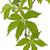 ivy parthenocissus tricuspidata on white background stock photo © haraldmuc