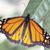 monarchfalter danaus plexippus stock photo © haraldmuc
