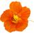 orange nasturtium flower isolated on white stock photo © haraldmuc