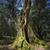eski · zeytin · alan · hazır · hasat - stok fotoğraf © haraldmuc
