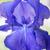 青 · アイリス · 花 · 美しい · 紫色の花 - ストックフォト © haraldmuc