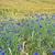 cornflowers in bavaria germany stock photo © haraldmuc