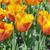 Red- Yellow tulips stock photo © HERRAEZ