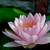 paars · water · lelie · lotus · blad · schoonheid - stockfoto © hinnamsaisuy