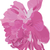 pink peony stock photo © Hipatia