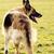 corrida · pastor · coleira · campo · cão · livre - foto stock © hitdelight