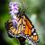 monarch danaus plexippus stock photo © hlehnerer