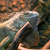 iguana stock photo © hochwander