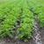 sağlıklı · ekolojik · tarla · patates · doğa · yaz - stok fotoğraf © Hochwander
