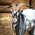коза · мужчины · белый · наследие · парка · природы - Сток-фото © Hochwander