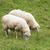 ovelha · rebanho · Eslováquia · viajar · grupo · montanhas - foto stock © hochwander