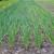 sağlıklı · ekolojik · tarla · soğan · doğa · yaz - stok fotoğraf © Hochwander