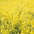 yellow rape field stock photo © hochwander