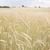 paille · domaine · récolte · Pologne · ciel · alimentaire - photo stock © hochwander