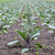 sağlıklı · ekolojik · tarla · kırmızı · lahana · Polonya - stok fotoğraf © Hochwander