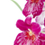 pansy orchid   miltonia lawless falls stock photo © homydesign
