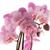 bella · rosa · orchidea · pot · isolato · fiore - foto d'archivio © homydesign