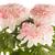 bella · crisantemo · fiori · fiore · primavera · natura - foto d'archivio © homydesign