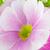 belo · rosa · prímula · flores · branco · vaso - foto stock © homydesign
