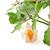meyve · yalıtılmış · beyaz · çiçek · gıda · doğa - stok fotoğraf © homydesign