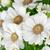 красивой · хризантема · цветы · темно · цветочный · горшок · белый - Сток-фото © homydesign