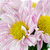 primer · plano · hermosa · amarillo · crisantemo · flores · jardín - foto stock © homydesign