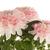 美しい · 菊 · 花 · 春 · 自然 · 夏 - ストックフォト © homydesign
