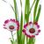 belo · rosa · margarida · flor · isolado · branco - foto stock © homydesign