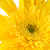 ярко · желтый · Daisy · цветок · весны - Сток-фото © homydesign