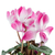 beautiful pink cyclamen flower stock photo © homydesign