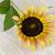 girasole · petali · isolato · bianco · top · view - foto d'archivio © homydesign