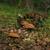 mushrooms in habitat stock photo © hraska