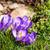 piękna · wcześnie · wiosennych · kwiatów · kopia · przestrzeń · wiosną · zielone - zdjęcia stock © hraska