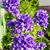 красивой · фиолетовый · цветы · ярко · закат · цветочный - Сток-фото © hraska