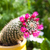 紫色 · 花 · サボテン · 美しい · ピンク · 開花 - ストックフォト © hraska