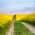 rural road through oilseed rape field stock photo © hraska