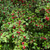 forêt · Bush · baies - photo stock © hraska