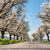 út · sikátor · cseresznye · fák · virágzik · tavasz - stock fotó © hraska