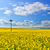 rapeseed field stock photo © hraska