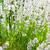 close up of white levander stock photo © hraska