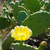 cacto · flores · amarelas · mediterrânico · flor · primavera - foto stock © hraska