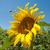 honing · bijen · zonnebloem · bloem · natuurlijke - stockfoto © hraska