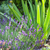 Fresh lavender plants stock photo © hraska