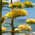 agave · planta · alto · haste · costa - foto stock © hraska