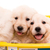 golden retrievers stock photo © hsfelix