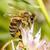 Sammeln · Honig · Biene · rosa · Blume · Schönheit - stock foto © icefront