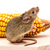 house mouse mus musculus on corn stock photo © icefront