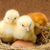 genç · civciv · yuva · su · bebek · güzellik - stok fotoğraf © icefront