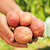 フィールド · 写真 · 美しい · ジャガイモ · 食品 - ストックフォト © icefront