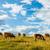 tehenek · legelő · kék · ég · nyár · zöld · horizont - stock fotó © icefront